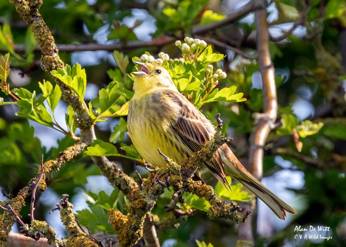 Yellowhammer singing