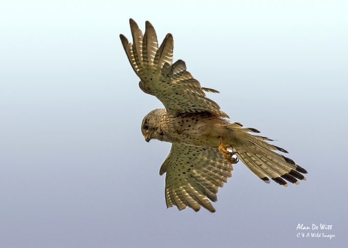 One of the pair of Kestrels out hunting