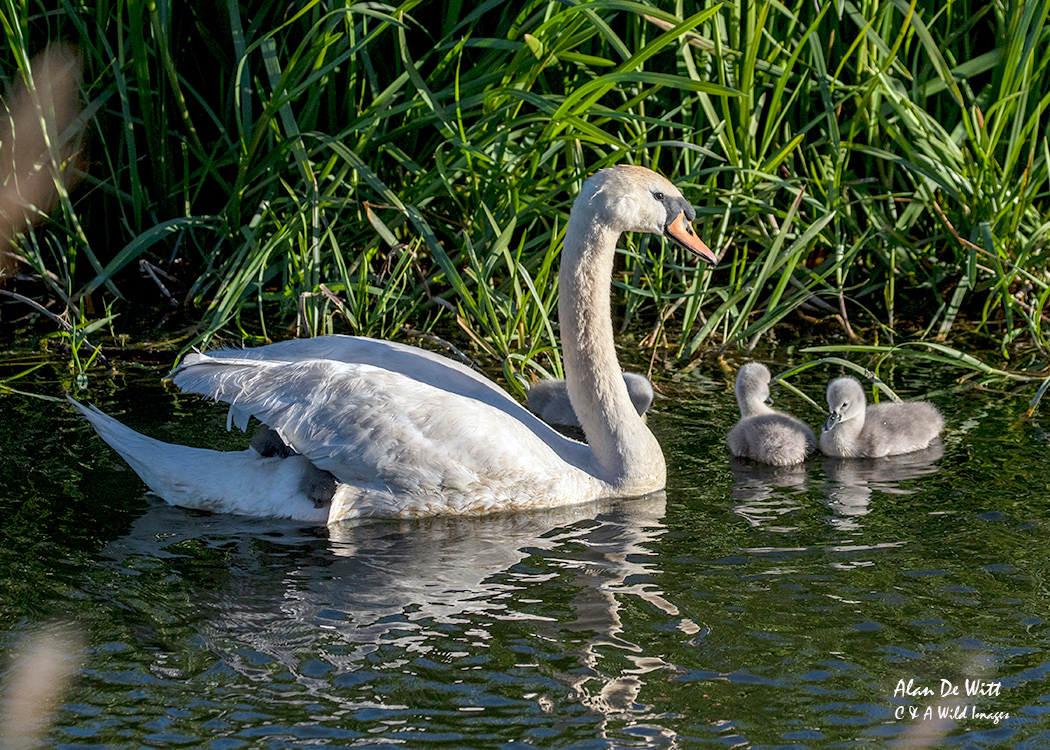 Mute swan with six Cygnet