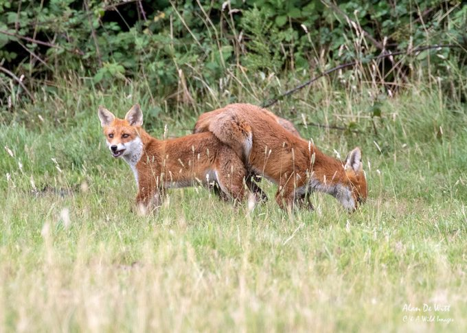 Young Foxes developing dominance and hierarchy behaviour