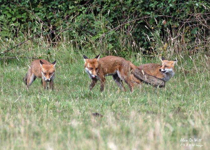Three of the Fox cubs