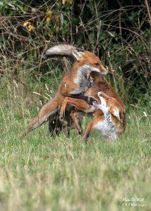 Foxes cubs siblings sparring