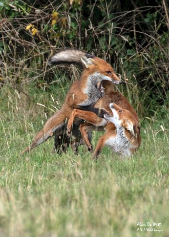 Two of the Foxes fighting