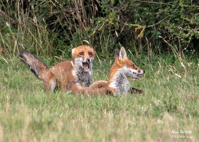 Red foxes cubs wrestling
