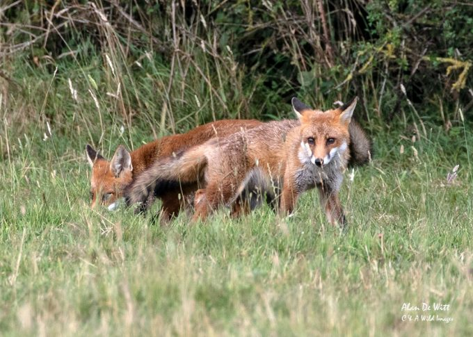 Fox cub on the local Common