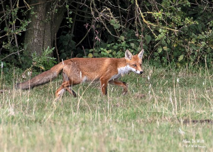 Fox cub on the Common