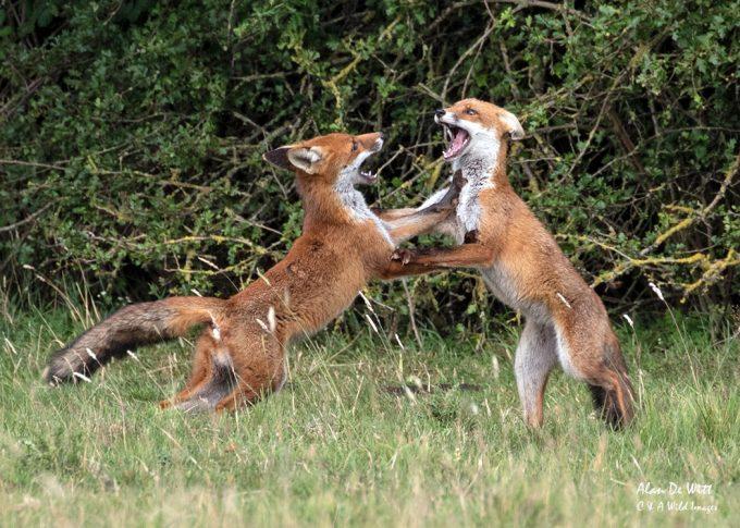 Fox cubs fox trotting