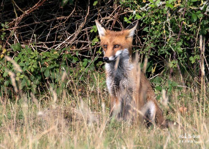Fox Cub. on guard