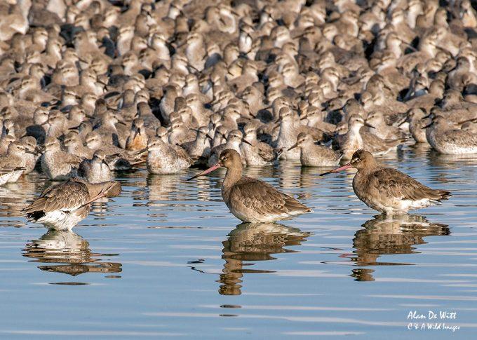 Bar-tailed Godwits at the Wader Spectacular