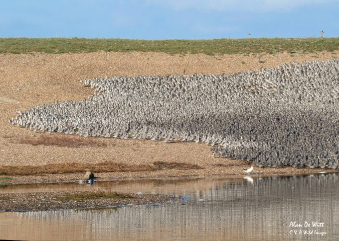 Knot gathering in the lagoon at RSPB Snettisham