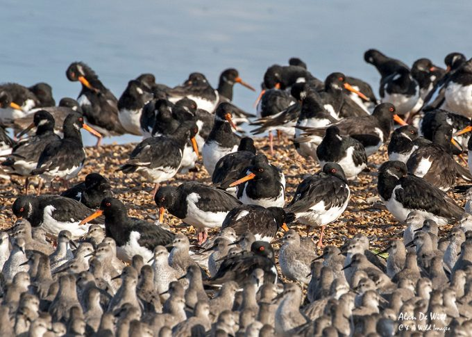 Oystercatchers roosting in the Pits