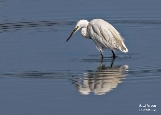 Little Egret at RSPB Snettisham
