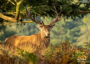 Royal Stag in early morning light