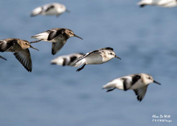Dunlin and Sanderling in Flight