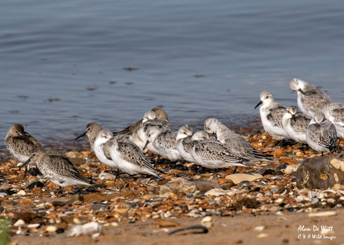 Mixed Flock of Dunlin and Sanderling